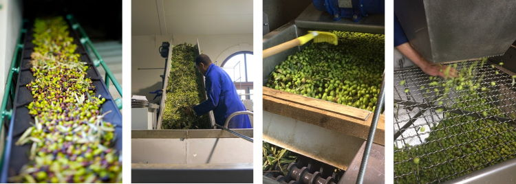 olive oil production: de-leafing and washing